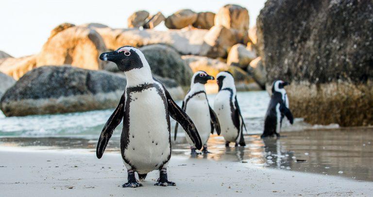 pingwiny w afryce