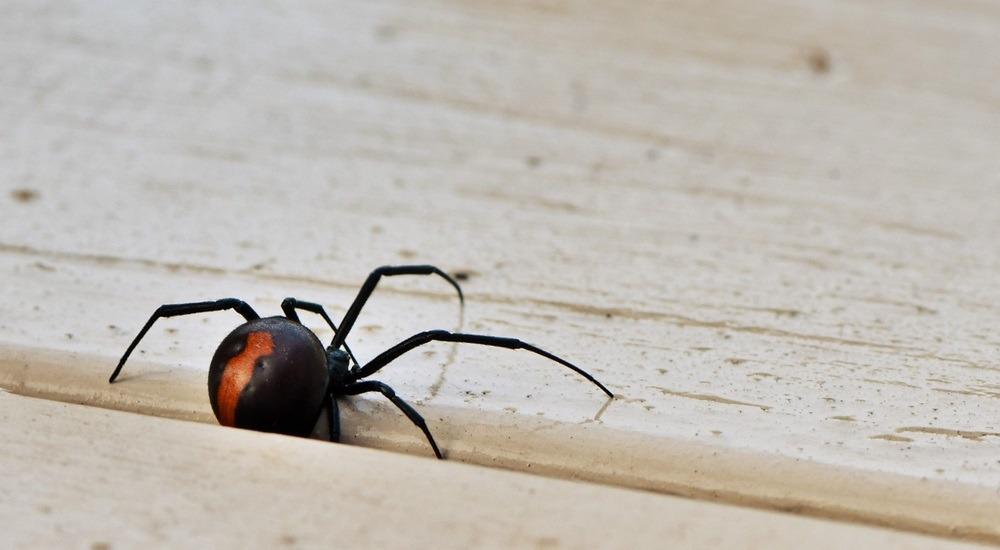 pająki w australii