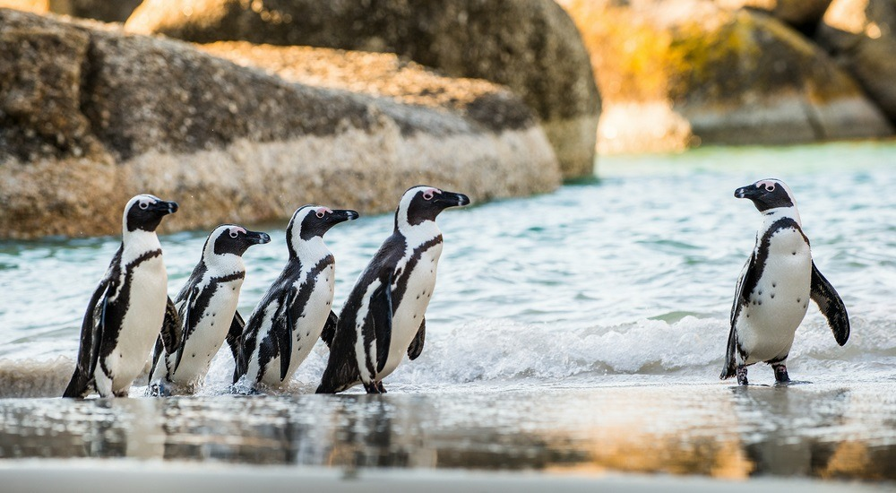 pingwin afrykański