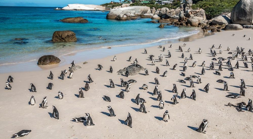 pingwiny afryka