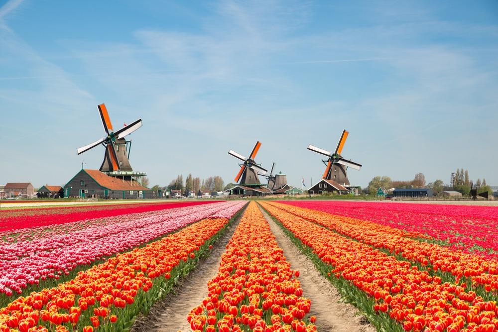 festiwal tulipanów holandia